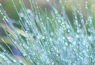 Ornamental Grass Seeds thumbnail