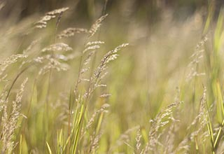 Native Grass Seed thumbnail