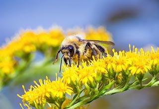 Bee Plant Seed thumbnail