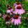 Flower Seeds thumbnail