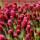 Clover Seeds thumbnail