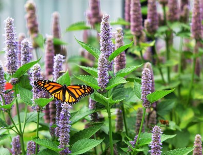 Monarch and Agastache