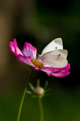 White Cabbage Butterfly and Cosmos