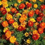 French Marigold Seeds - Mix thumbnail