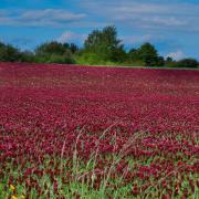 Crimson Clover Seeds thumbnail