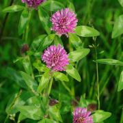 Red Clover Seed thumbnail