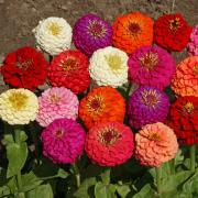 Zinnia Seeds - Mix thumbnail