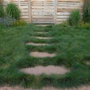 Sheeps Fescue Grass