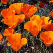 Poppy Seeds - California thumbnail
