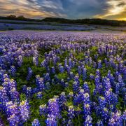 Texas Bluebonnet Seeds thumbnail