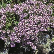 Creeping Thyme Seeds - Mother thumbnail