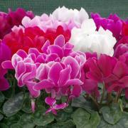 Cyclamen Seeds - Persicum thumbnail