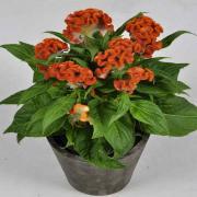 Cockscomb Seeds - Orange