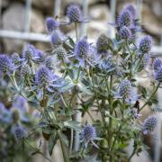 Eryngium Seeds - Planum