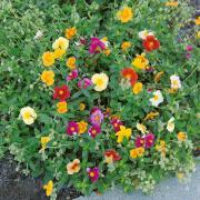 Rock Rose Seeds thumbnail