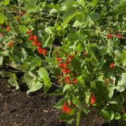 Scarlet Runner Beans Seeds thumbnail