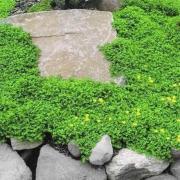 Herniaria Glabra Seeds thumbnail