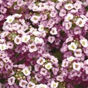 Alyssum Seeds - Lavender thumbnail