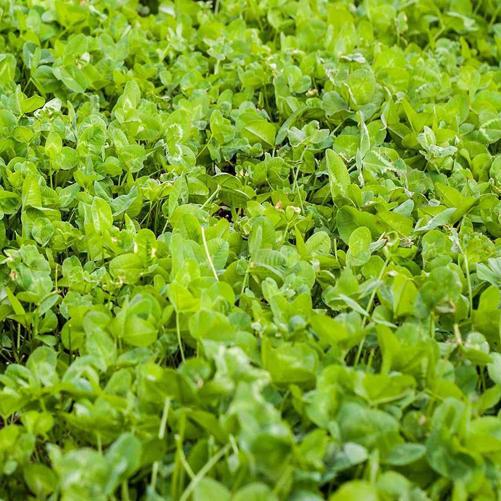 Clover King Deer Food Plot Seed Bulk Clover Seeds