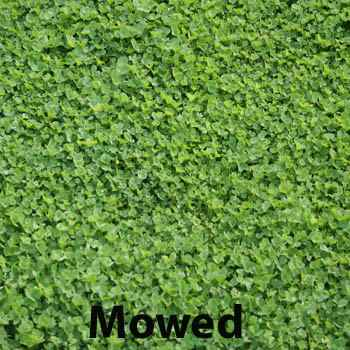 Miniclover 174 White Clover Seeds For Clover Lawns