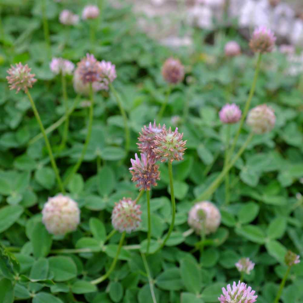Strawberry Clover Plant Seed