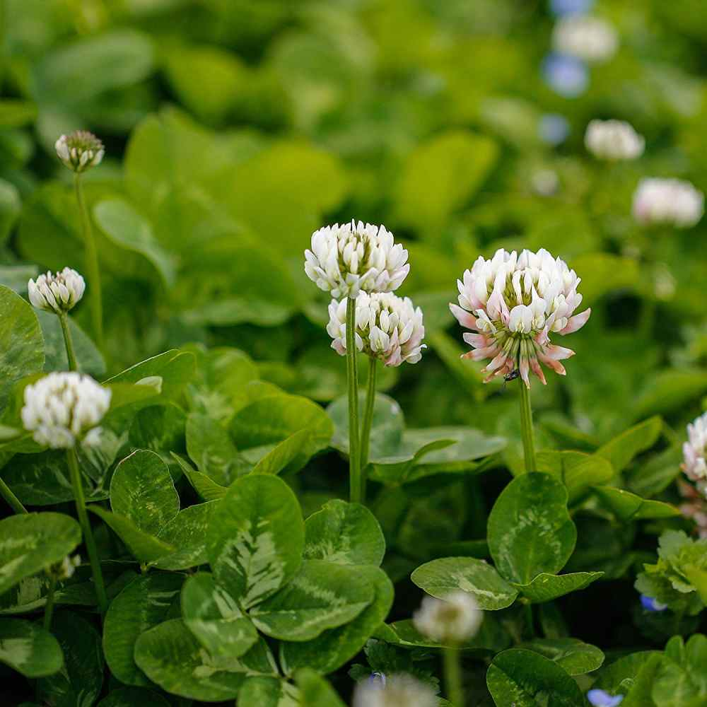 Dereila Nature Inn - Woodlands Pathway - Edible Plants |White Clover Plant