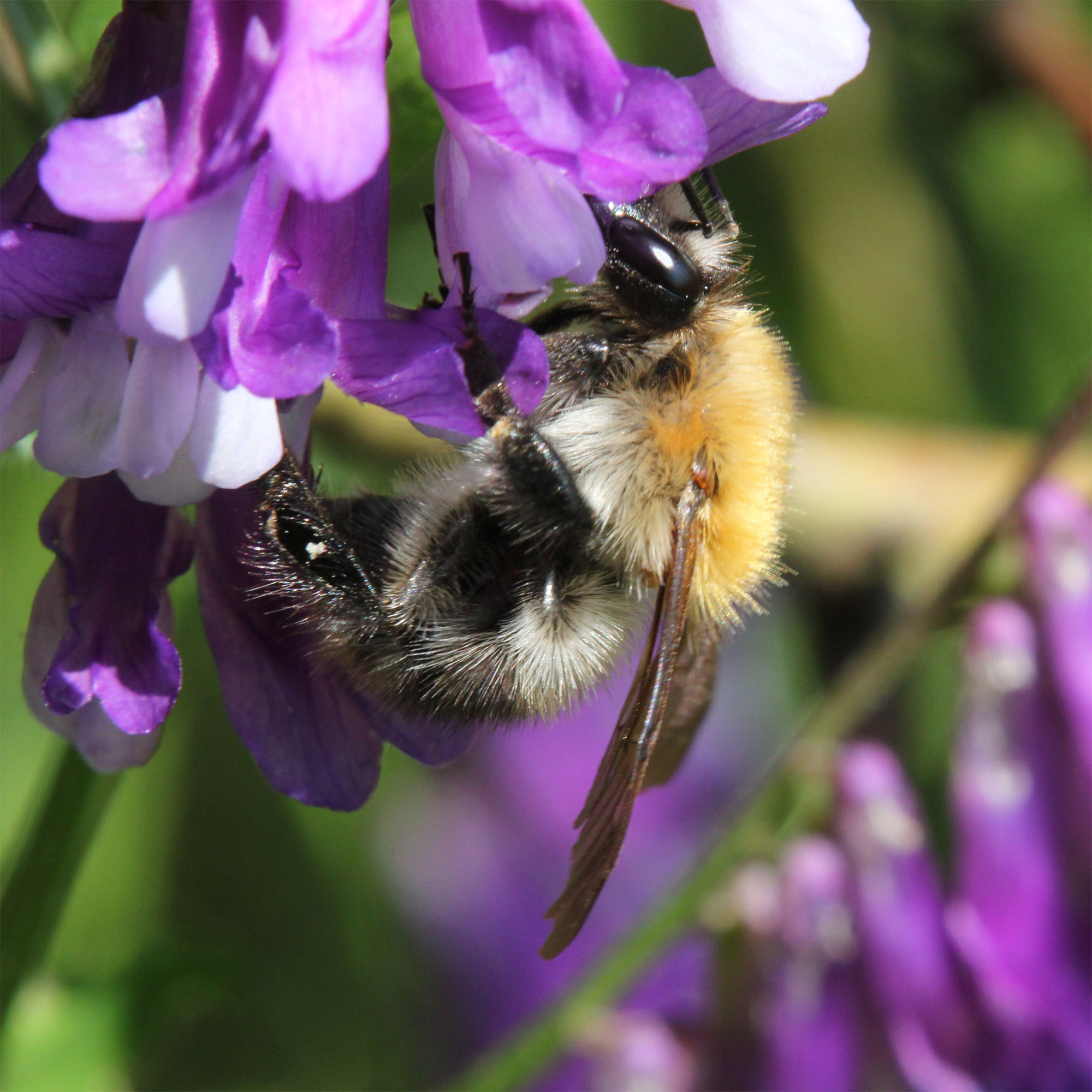 Bee on Hairy Vetch