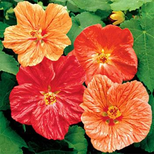 Abutilon Seeds Mix