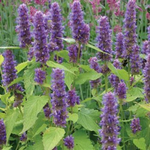 Anise Hyssop Seed Anise Hyssop Golden Jubilee Herb Seeds