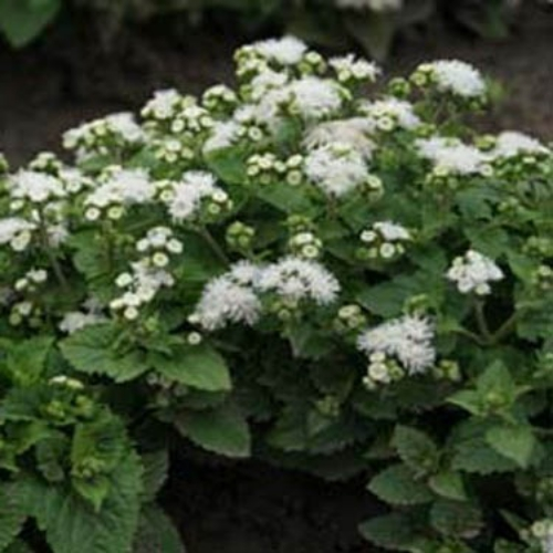 Floss flower seeds white ageratum seeds ageratum mexicanum white mightylinksfo