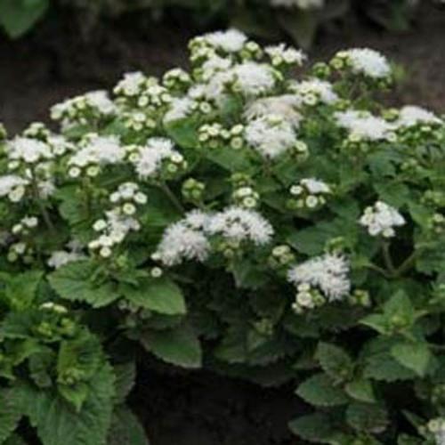 Ageratum Mexicanum White