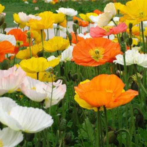 Poppy seeds alpine poppy flower seed alpine poppy papaver alpinum start alpine poppy seeds for this short growing perennial poppy plant this colorful mix of poppy flowers range from orange mightylinksfo