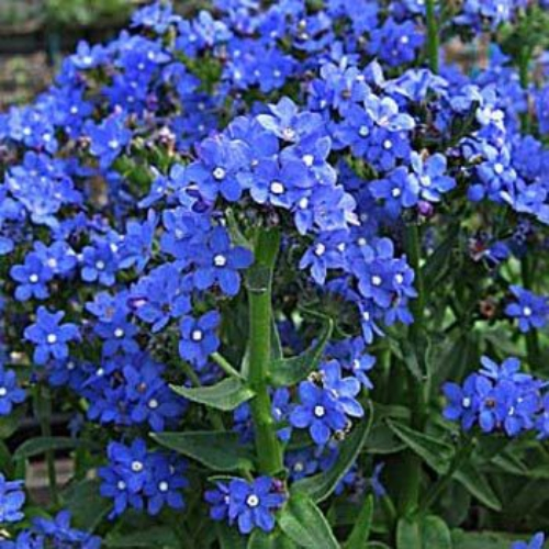 Bugloss Blue Angel