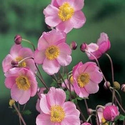 Anemone seeds japonica flower seed - Anemone species caring color refinement ...