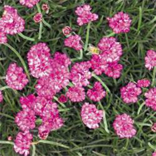 Armeria seeds armeria maritima splendens sea pink thrift armeria maritima splendens mightylinksfo Image collections