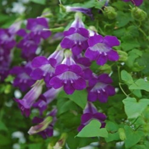 Climbing Snapdragon Asarina Scandens Violet Add This Spectacular Vine To The Garden By Starting Seeds Also Known As Twining Or