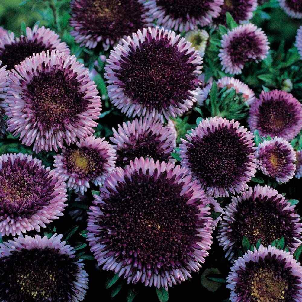 Aster Seeds Aster Callistephus Tall Pompon Blue Moon Flower Seed