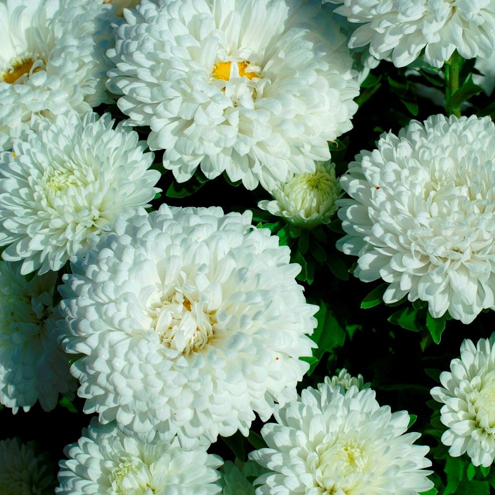 50 Seeds of Aster Dwarf Milady White Callistephus Chinensis Annual Flower Plant