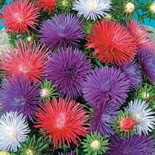 aster seed  callistephus chinensis flower seeds, Natural flower