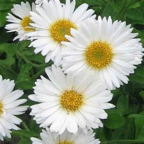 aster seeds  aster alpinus white flower seed, Natural flower