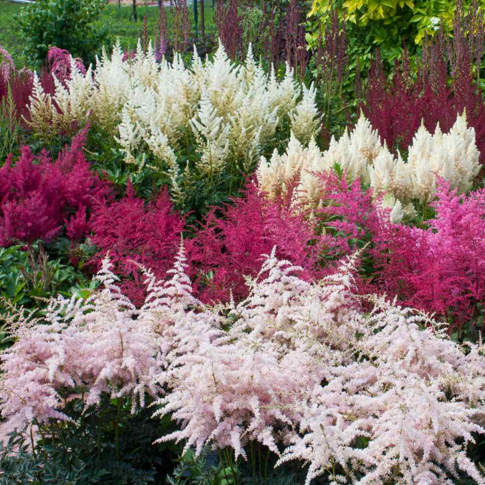 Astilbe Mix Flower Seed