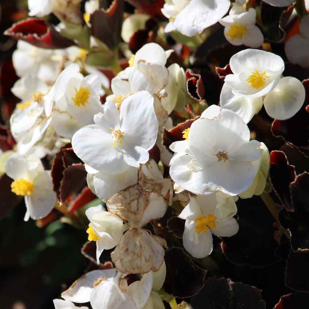 White Begonia Seeds Wax Begonia Semperflorens Flower Seeds