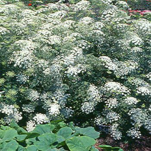 Queen Anne's Lace Flower Seed