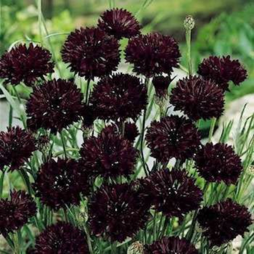cornflower seeds centaurea cyanus black ball flower seed