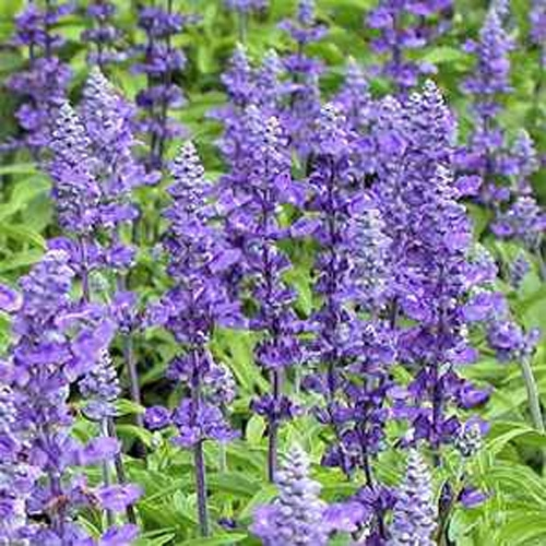 the butterflies and will love your garden when you grow these beauties blue victory salvia plants are heavy blooming - Salvia Plant