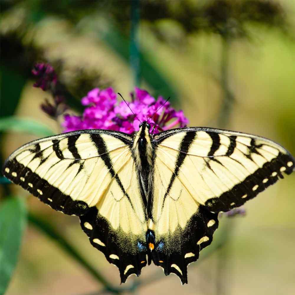 Butterfly Bush Seed Buddleia Davidii Flower Seeds Mix