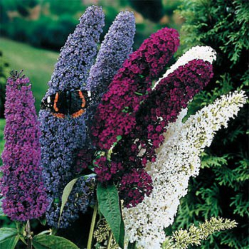 Butterfly Bush Maintenance on Butterfly Bush Buddleia Davidii Mix Start This Beautiful Perennial
