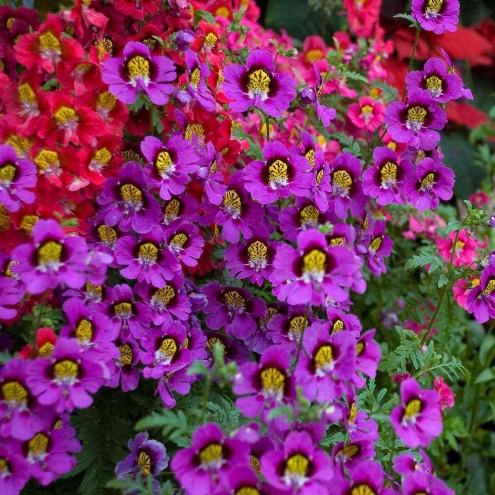 200 Schizanthus x Wisetonensis Farfalla fiore Angel Wings Seeds Seeds
