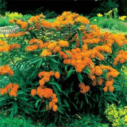 butterfly weed seeds  asclepsias tuberosa milkweed flower seed, Beautiful flower