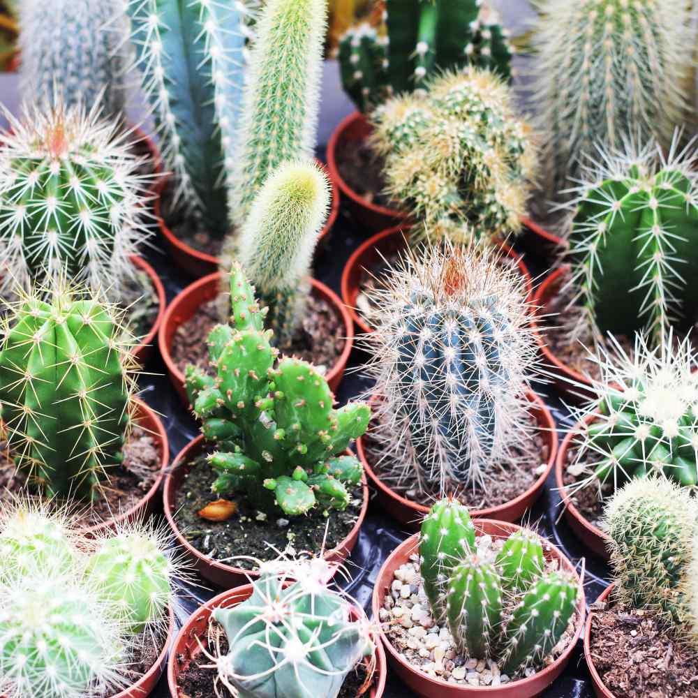 Cactus Seeds Cacti Garden Mix Flower Seeds